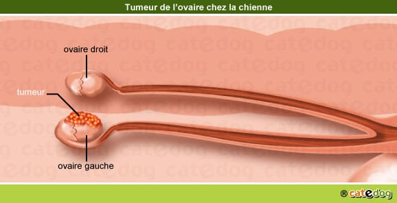 tumeur-maligne-benigne-metastases-ovaire-chienne