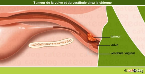 tumeur-maligne-benigne-metastases-vulve-vestibule-chienne
