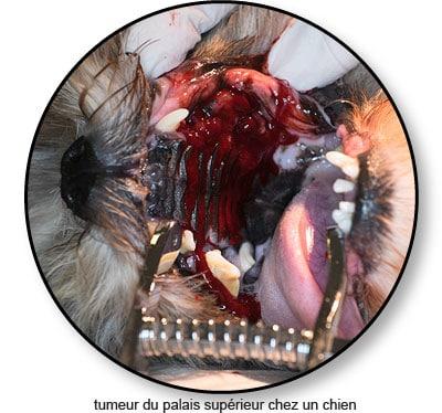 Tumeur du palais de la bouche chez un chien