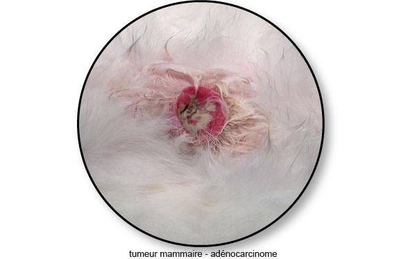 tumeur-mammaire-adenocarcinome_©catedog.com