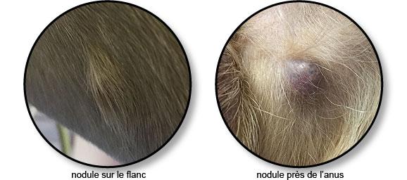 Tumeur ou nodule sur la peau du chat ou du chien