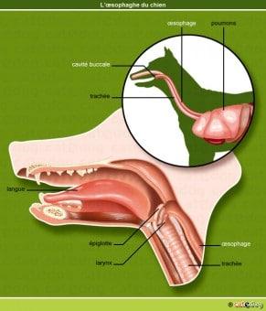 tumeur-oesophage-chien