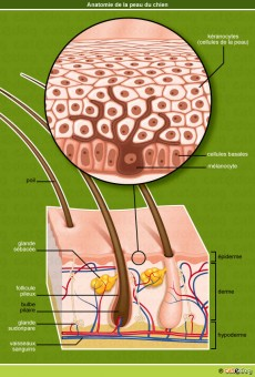 tumeur peau tissus sous cutanes chien catedog conseils v to illustr s catedog. Black Bedroom Furniture Sets. Home Design Ideas