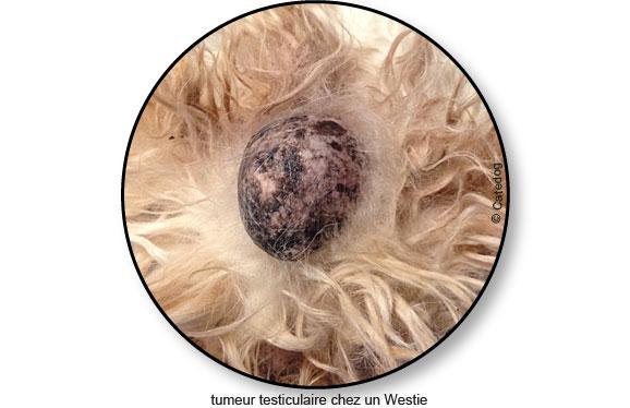 tumeur-testiculaire_testicule_chien