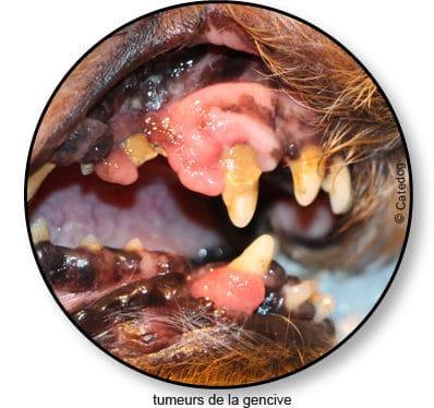 Tumeur de la bouche chez le chien – Conseil véto illustré ...