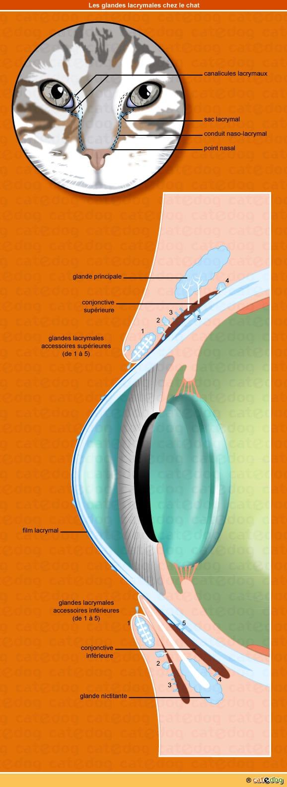 anatomie-chat-glandes-lacrymales-paupiere-ecoulement