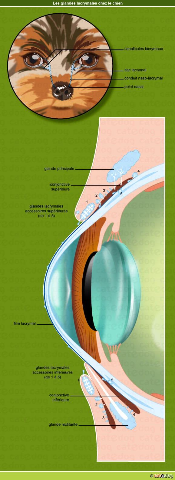 anatomie-chien-glandes-lacrymales-paupiere-ecoulement