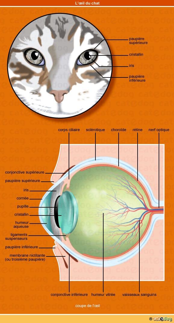 Anatomie de l il du chat conseils v to illustr s catedog - Couche du globe oculaire ...