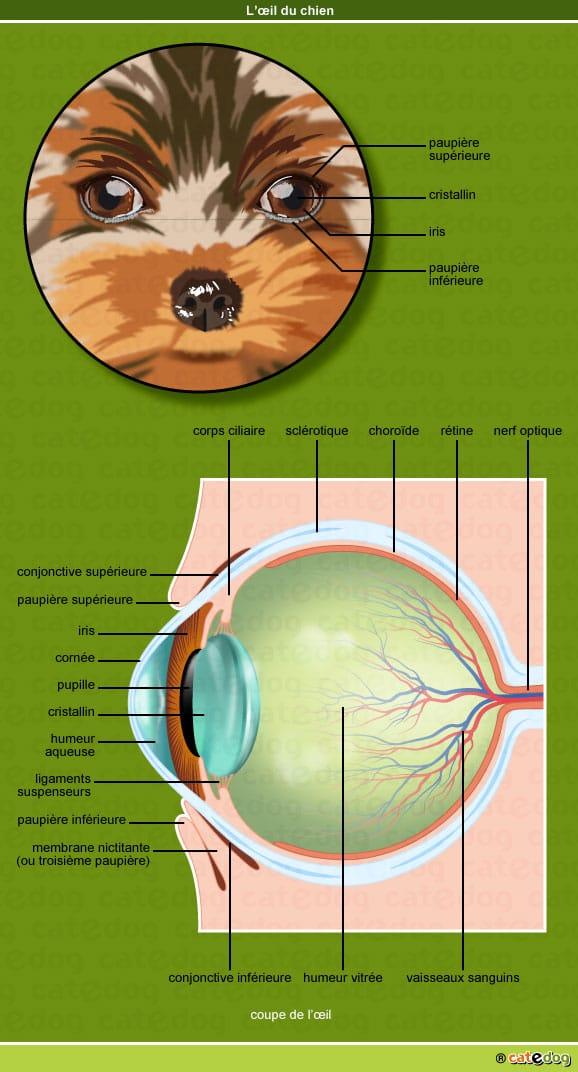 oeil-chien-nerf-optique-retine-sclerotique-choroide