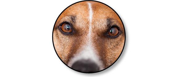systeme-visuel-oeil-chien