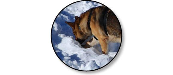 chien_avalanche