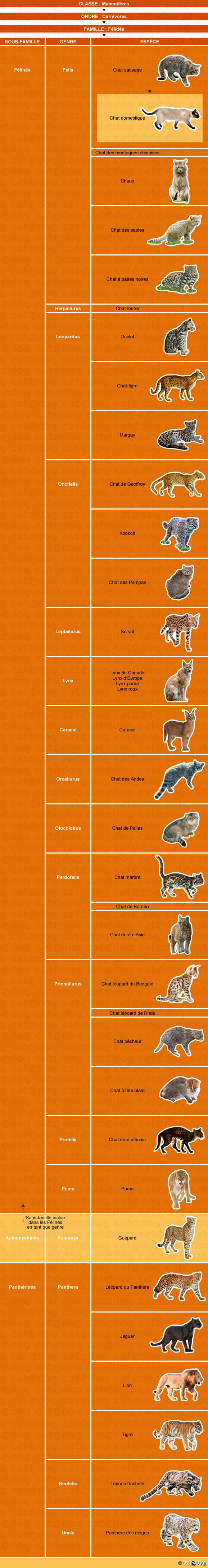 genealogie-historique-du-chat