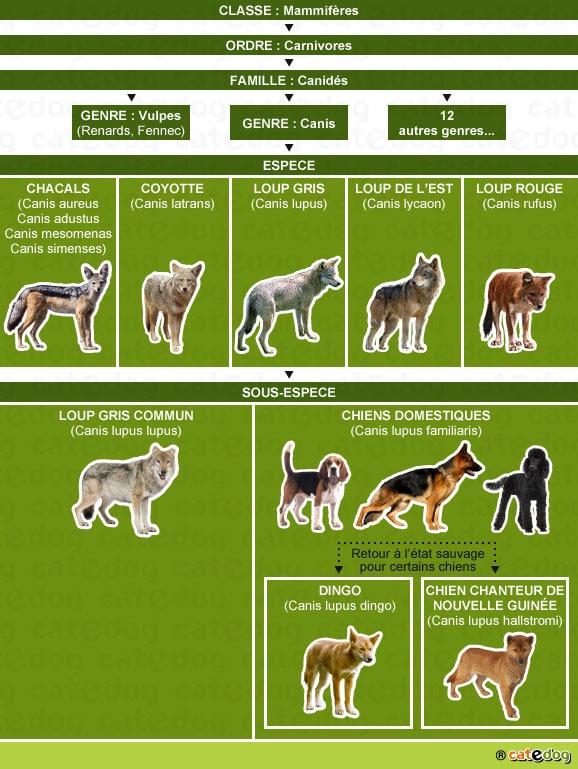 genealogie-historique-du-chien