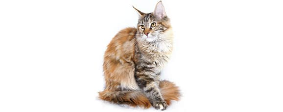 alimentation_maine-coon