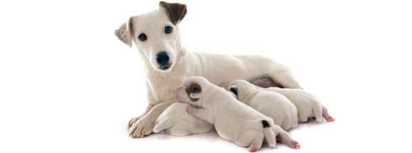 nourrir-chienne-gestante-allaitante-gestation-allaitement