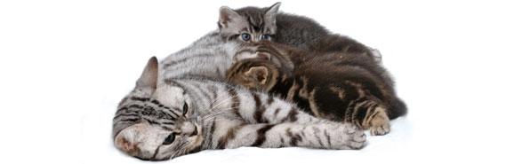 nourrir-une-chatte-gestante-ou-allaitante