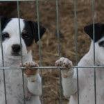 chien-jack-russel-terrier-chiots