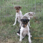 terrier-bresilien-brasileiro-eleveur