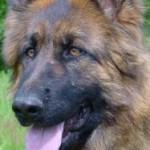 chien-berger-allemand-tete