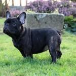 chien-bouledogue-francais-noir