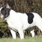 chien-bouledogue-francais-profil