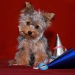 yorkshire-terrier-fete