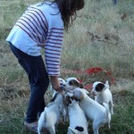 chien-jack-russel-terrier-eleveur