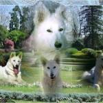 chien-berger-blanc-suisse-jardin