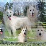 chien-berger-blanc-suisse-parc