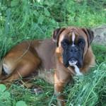 chien-boxer-herbe