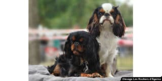 epagneul-king-charles-spaniel-exterieur