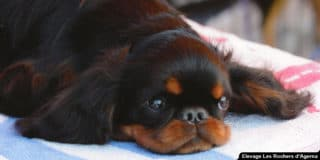 epagneul-king-charles-spaniel-couche