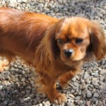 chien-cavalier-king-charles-marron