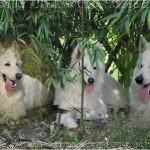 chien-berger-blanc-suisse-trio