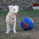 chien-jack-russel-terrier-ballon
