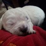 chien-golden-retriever-dore-chiot-dormir