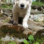 chien-golden-retriever-dore-marches