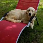 chien-golden-retriever-dore-transat