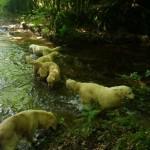 chien-golden-retriever-dore-baignade