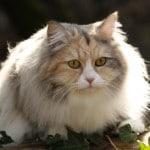 siberien-chat-de-siberie-exterieur