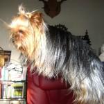 yorkshire-terrier-eleveur