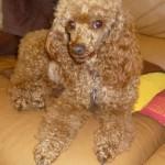 chien-caniche-marron