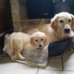 chien-golden-retriever-dore-panier