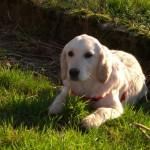 chien-golden-retriever-dore-campagne