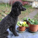 chien-caniche-profil