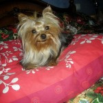 yorkshire-terrier-coussin