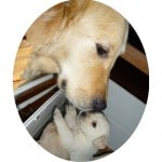chien-golden-retriever-dore-mere-chiot