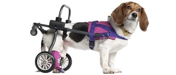 chien-handicape-chariot-roulant