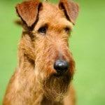 onut-glen_irish-terrier_catedog.com