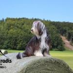 chien-bearded-collie-prairie
